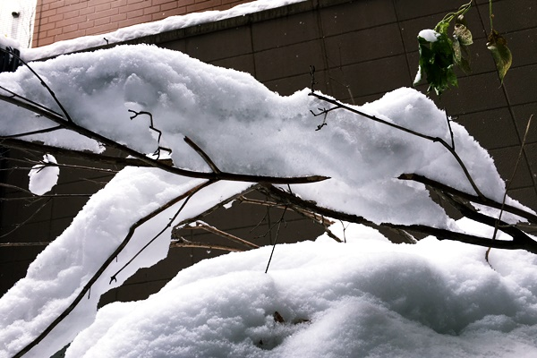 枝雪1.JPG